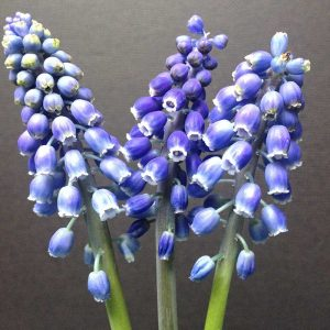 Close up of three Grape Hyacinths