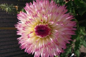 Pink tipped dahlia flower head
