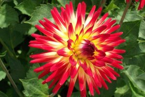 Bright red yellow dahlia flower head