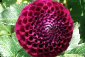 Purple dahlia flower head