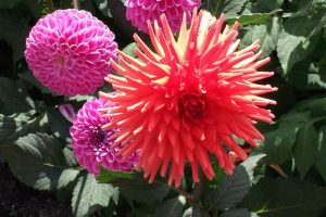 Bright red dahlia flower called Banker