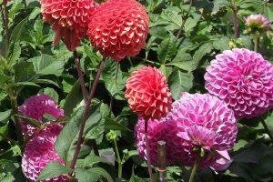Pinks and reds dahlais in garden