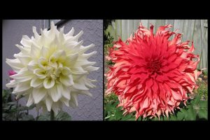 Head of white and red dahlia