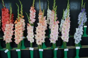 Mixed colour gladioli at flower show