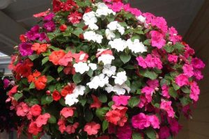 pink and white impatiens flowers