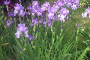 Beautiful blue Iris flowers