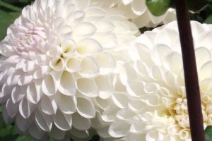 White dahlia flower head